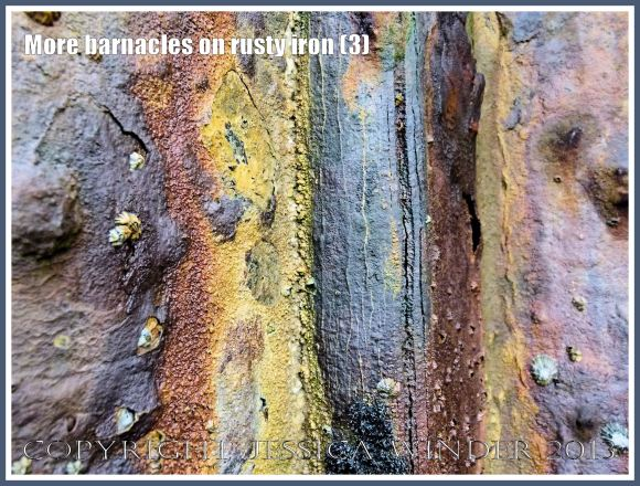 More barnacles on rusty iron (3) - Acorn or sessile barnacles living on an iron seaside pier corroded by sea water.