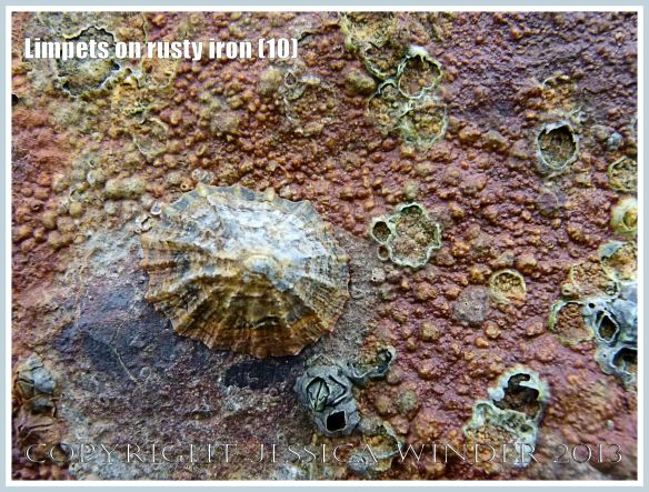 Limpets on rusty iron (10) - Living limpet (Patella sp.) attached to highly coloured, patterned, and textured rusty iron seaside pier.