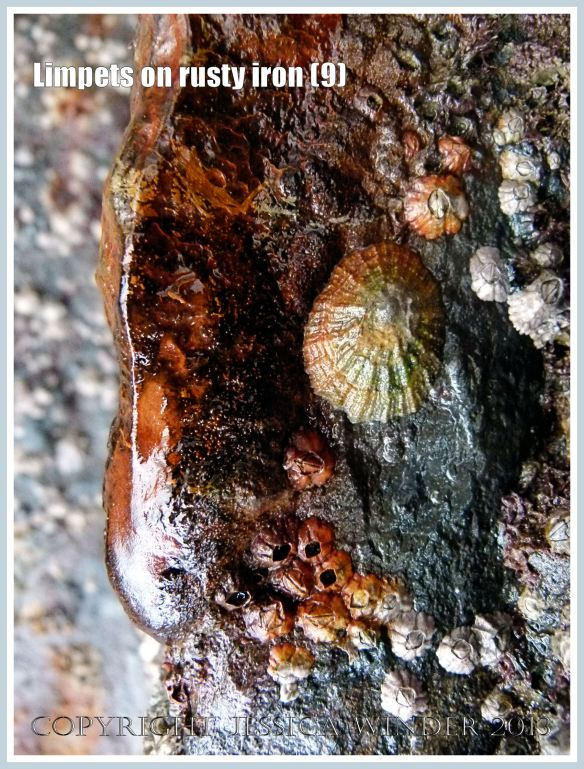 Limpets on rusty iron (9) - Living limpet (Patella sp.) attached to highly coloured, patterned, and textured rusty iron seaside pier.