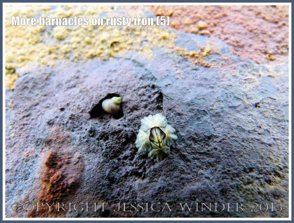 More barnacles on rusty iron (5) - Acorn or sessile barnacle living on an iron seaside pier corroded by sea water.