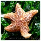 SEASHORE CREATURE 1 - A baby common starfish, Asterias rubens. You can find posts about starfish and other SEASHORE CREATURES in Jessica's Nature Blog.