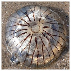 SEASHORE CREATURE 2 - A stranded common British Compass Jellyfish, Chrysaora hysoscella. You can find posts about jellyfish and other SEASHORE CREATURES in Jessica's Nature Blog.
