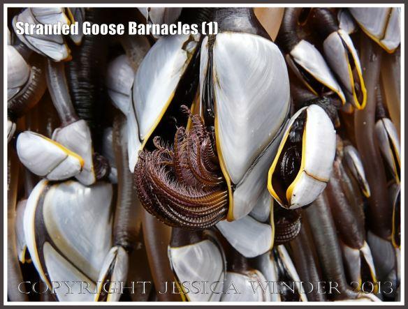 Goose barnacles waving their hairy legs in feeding mode.