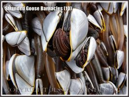 Goose barnacle out of water showing semi-retracted hairy legs or cirripede appendages.