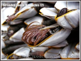 Goose Barnacles out of water showing extended hairy legs or cirripede appendages.