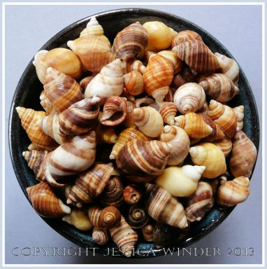 Arrangement of Seashells 9 - Mostly common British Dog Whelks.