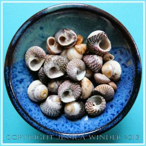 Arrangement of Seashells 8 - Mostly common British Top Shells.