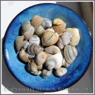 Arrangement of Seashells 6 - Common British edible Cockle shells.