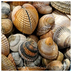 SEASHELL 2 - Shells of the Common Edible Cockle, Cerastoderma edule. You can find posts about marine molluscs and their shells in the SEASHELLS or SEASHORE CREATURES categories in Jessica's Nature Blog.