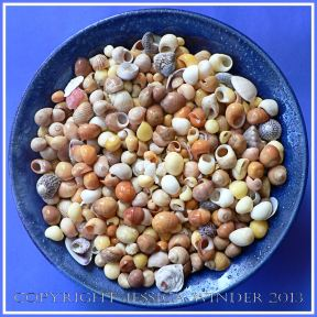 Arrangement of Seashells 3 - Mostly colourful common British seashells like Flat Periwinkles.