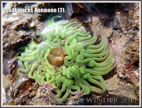 Snakelocks Anemone (2) - Anemonia viridis (Forskal), also called Opelet Anemone, in a very shallow water tide pool at Lyme Regis, Dorset, UK, with long, slender, pink-tipped, bright green tentacles fully extended.