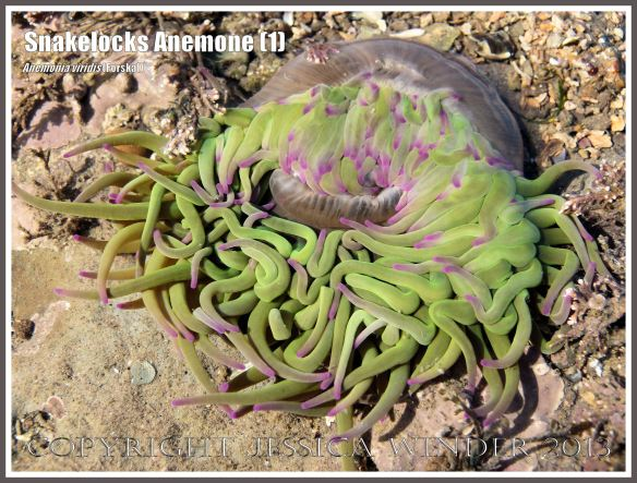 Snakelocks Anemone (1) - Anemonia viridis (Forskal), also called Opelet Anemone, in a very shallow water tide pool at Lyme Regis, Dorset, UK, with long, slender, pink-tipped, bright green tentacles fully extended.