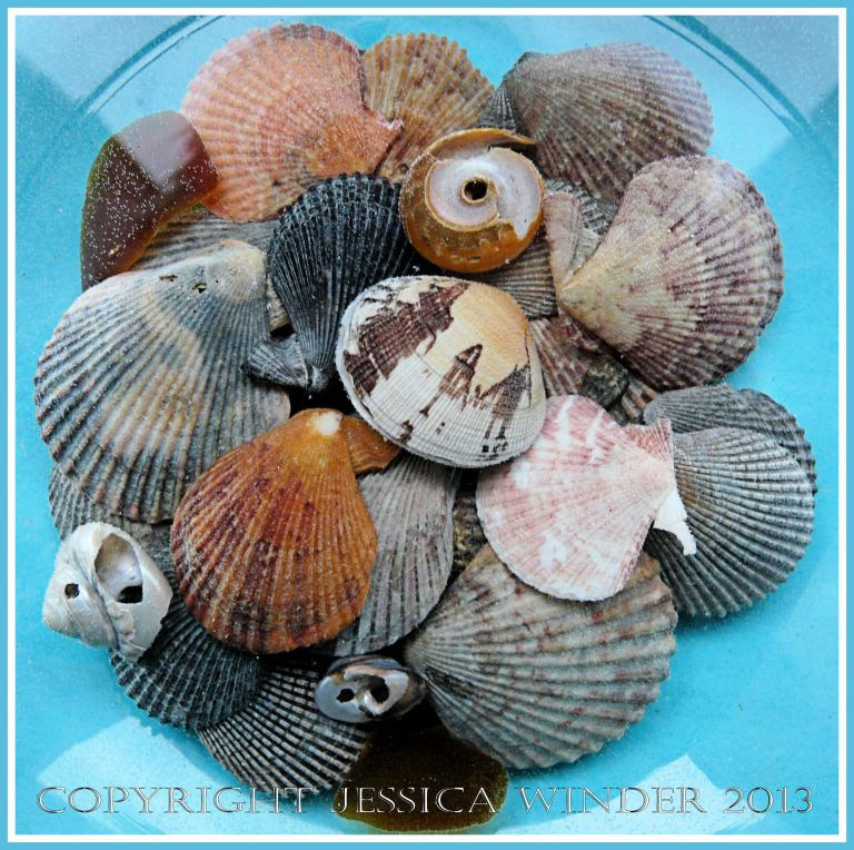 Arrangement of Seashells 1 - Mostly small variegated scallop shells with a Manila Clam, top shells, and sea glass, in a bowl of water - common British seashells.