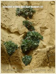 East Cliff at West Bay near Bridport (9) - Plants, Sea Kale I think, growing in a sand-filled vertical cambering joint in the cliff face.