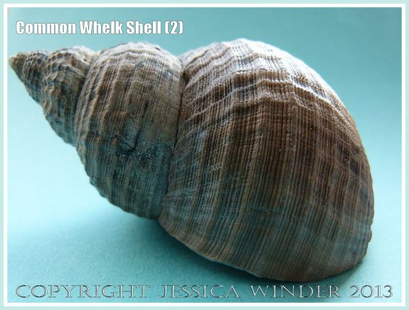 Common Whelk Shell (2) - Empty shell of the common British marine gastropod mollusc - Buccinum undatum (Linnaeus).