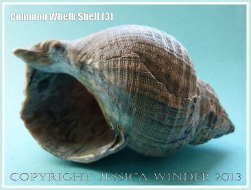 Common Whelk Shell (3) - Empty shell of the common British marine gastropod mollusc - Buccinum undatum (Linnaeus).