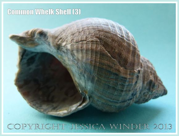 Common Whelk Shell (3) - Empty shell of the common British marine gastropod mollusc - Buccinum undatum (Linnaeus).