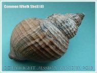 Common Whelk Shell (4) - Empty shell of the common British marine gastropod mollusc - Buccinum undatum (Linnaeus).