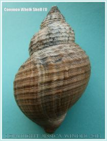 Common Whelk Shell (1) - Empty shell of the common British marine gastropod mollusc - Buccinum undatum (Linnaeus).