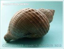 Common Whelk Shell (5) - Empty shell of the common British marine gastropod mollusc - Buccinum undatum (Linnaeus).