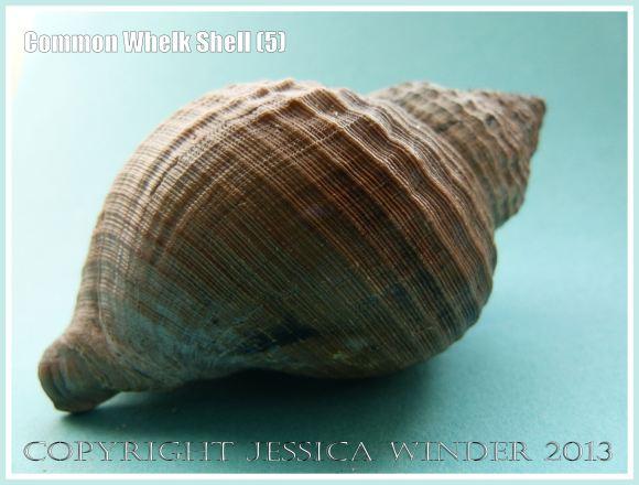 Common Whelk Shell (5) - Empty shell of the common British marine gastropod mollusc - Buccinum undatum (Linnaeus).