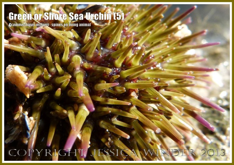 Green or Shore Sea Urchin (5) - Living sea urchin, Psammechinus miliaris, from a tide pool on Worms Head Causeway, Gower, South Wales, close-up photograph of the spines.
