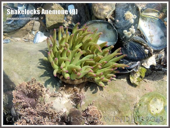 Snakelocks Anemone (9)  - Anemonia viridis (Forskal), also called Opelet Anemone, in a very shallow-water tide pool on the Worms Head Causeway, Gower, South Wales, with shorter, thicker than normal, pink-tipped, bright green tentacles fully extended.