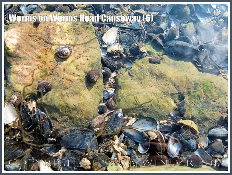 Lots of stripey marine worms slithering among mussel shells in a tide pool.