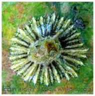SEASHELL 1 - A living Common British Limpet, Patella sp.. You can find posts about marine molluscs and their shells in the SEASHELLS or SEASHORE CREATURES categories in Jessica's Nature Blog.