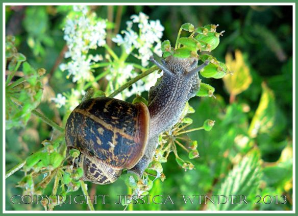 Picture of ordinary garden snail