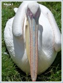 Pelican sitting down
