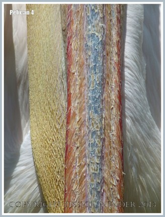 Close-up view of contrasting textures in a pelican