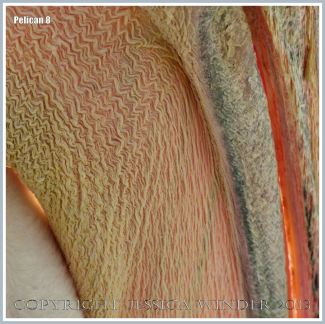 Pelican close-up image showing textures of beak and pouch