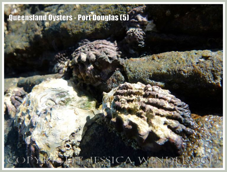Group of Rock Oysters, Saccostrea sp. at Port Douglas.