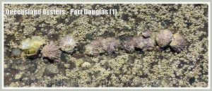 Row of wild oysters growing on barnacle-covered rock.