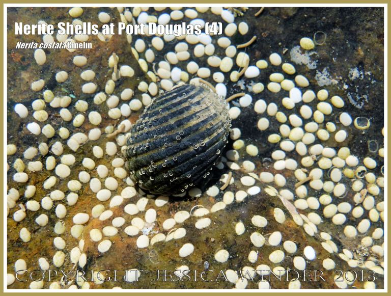 Individual Nerite Shell in thin film of water.