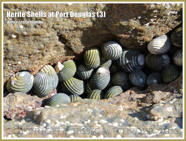 Dry Nerite Shells in a rock crevice at low tide