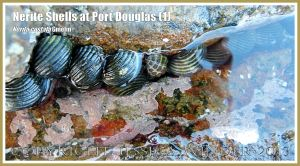 Mostly Nerite Shells (Nerita costata Duclos) in a part-submerged rock crevice crevice at Port Douglas