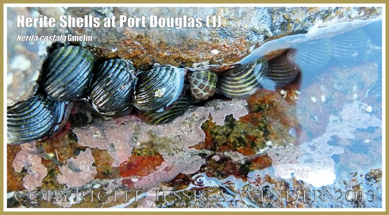 Mostly Nerite Shells (Nerita costata Duclos) in a part-submerged rock crevice at Port Douglas