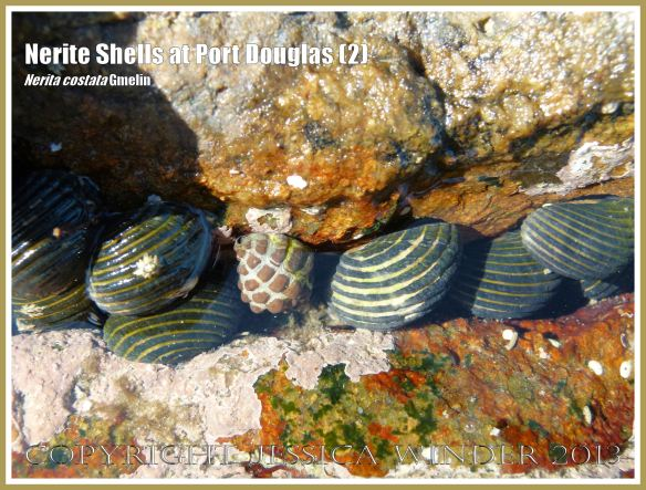 Mostly Nerite Shells (Nerita costata Duclos) in a part-submerged rock crevice