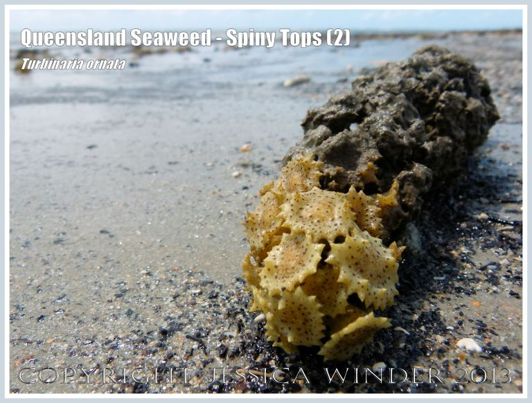 Spiny Tops seaweed on coral washed ashore on the Queensland coast.