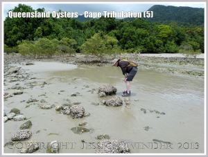 Rock Oysters growing on boulders at Cape Tribulation, Queensland