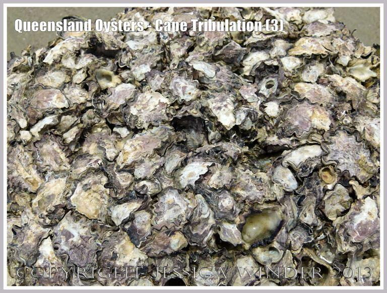 Rock Oysters growing at Cape Tribulation, Queensland