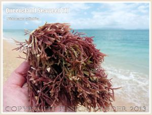 Red calcareous seaweed (Tricleocarpa cylindrica) on Normanby Island off the Queensland coast.