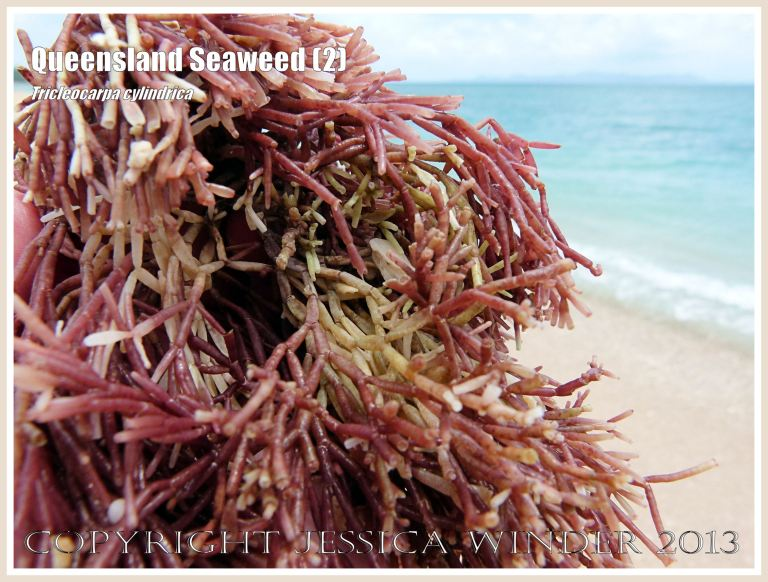 Close-up of red calcareous seaweed at Normanby Island, part of the Frankland Island group, off the coast of Queensland.