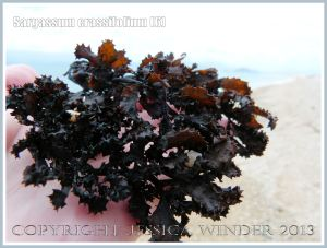 Dried dark seaweed found on Normanby Island of the Queensland Coast, Australia.