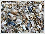 Strandline Seashells in situ (3)
