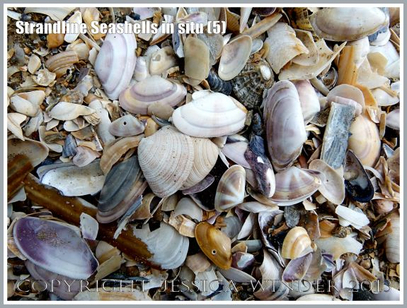 Strandline Seashells in situ (5)