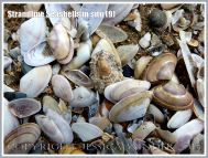 Strandline Seashells in situ (9)
