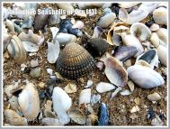 Strandline Seashells in situ (13)